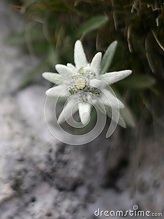 Fiore alpino di Edelweiss