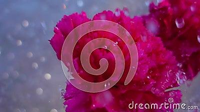 fiore del garofano su pioggia video d archivio