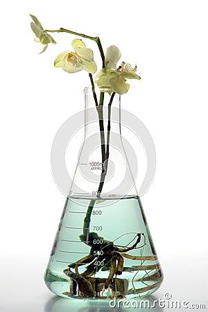 Fiore dell orchidea di coltura idroponica in boccetta del laboratorio