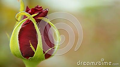 Fiore di rosa di colore rosso stock footage