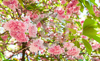 Fiore sull 39 albero fiore di ciliegia in primavera immagini for Sakura albero