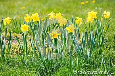 Fiore verde del narciso del narciso di giallo del campo for Narciso giallo