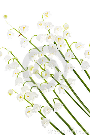 Fiori del Lily-of-the-valley su bianco