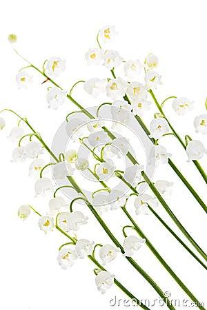 Fiori del Lily-of-the-valley su bianco