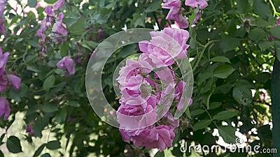 Fiori dentellare delle rose stock footage