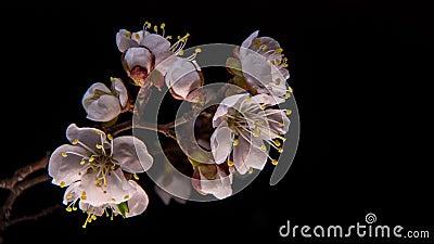 Fiori di fioritura dell'albicocca video d archivio