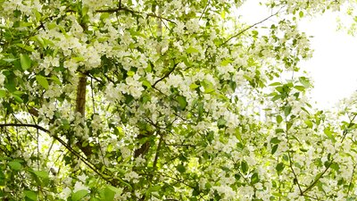 Fiori di mela in fiore bianco con vento leggero Avvolgimento di un ramoscello Un ramo di Apple in fiore in primavera su un stock footage