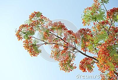 Fiori di pavone