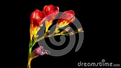 Fioritura di fresia del fiore e sbiadirsi, al rallentatore con l'alfa canale video d archivio