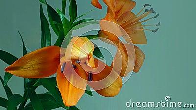 Fioriture del fiore del giglio Video di lasso di tempo dei gigli di fioritura video d archivio