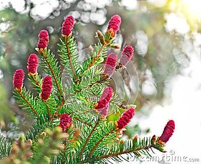 The fir