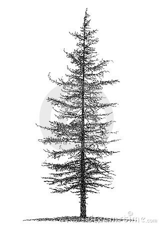 Fir Stock Image - Image: 21007341