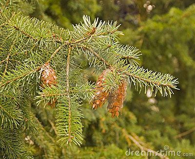 Fir Bough and Cones