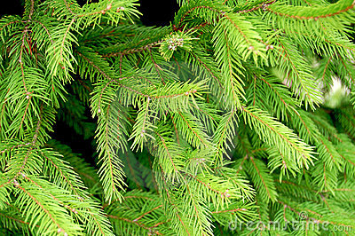 Fir Branches Stock Photos - Image: 6665253