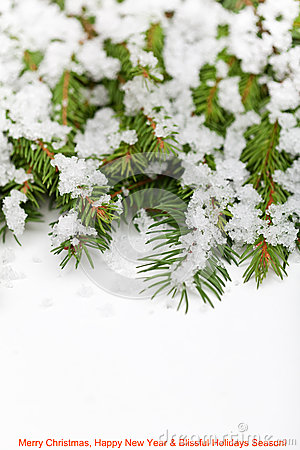 Fir branches with melting snow