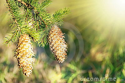 Fir cones in sunlight
