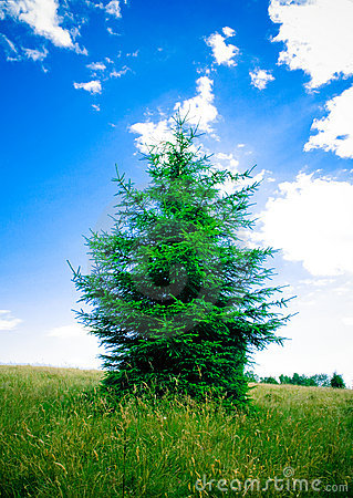 Fir evergreen tree