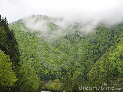 Fir forest in clouds