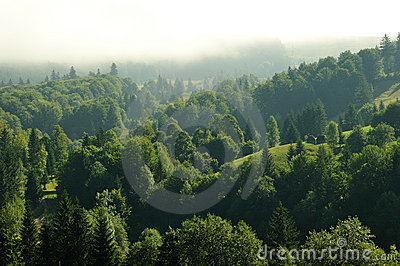 Fir forest into the clouds