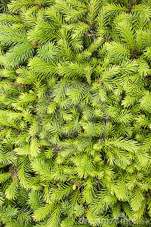 Free Fir-needles Background Stock Image - 9926381
