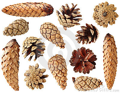 Fir and pine cones