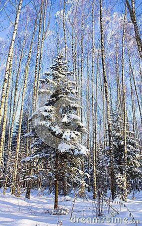 Free Fir-tree Stock Photography - 12147702
