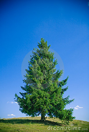 Free Fir Tree Royalty Free Stock Photos - 2749908