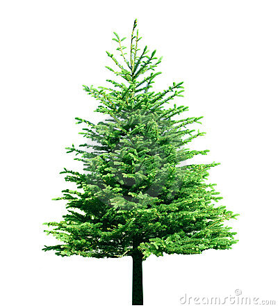 Free Fir Tree Royalty Free Stock Photos - 5500488