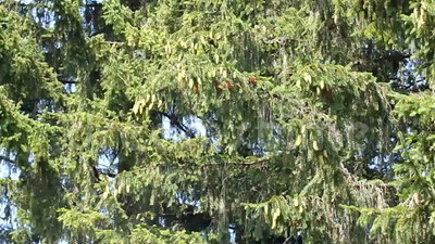 Fir tree background stock video
