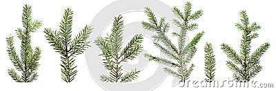 Fir tree branches