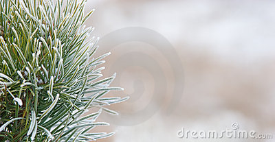 Fir tree close up covered with snow