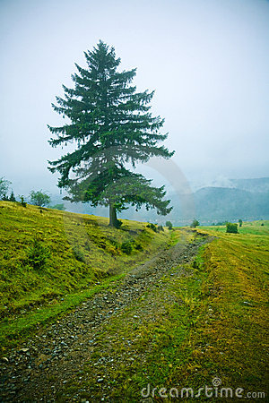 Fir tree in countryside