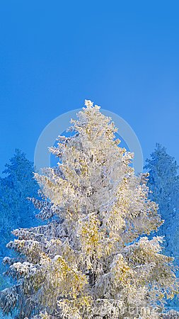 Free Fir Tree Covered By Snow And Hoarfrost On Blue Sky Background Stock Photography - 104192052