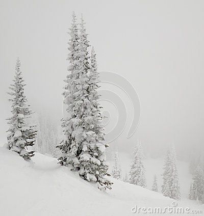 Fir tree covered with snow.