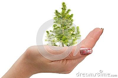Fir tree in hand