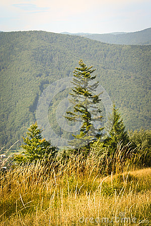 Fir-tree in mountains