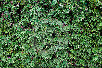 Fir tree needles texture