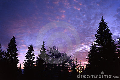 Fir tree with purple sky