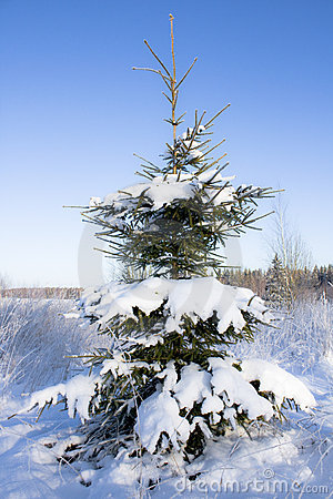 Fir-tree in snow