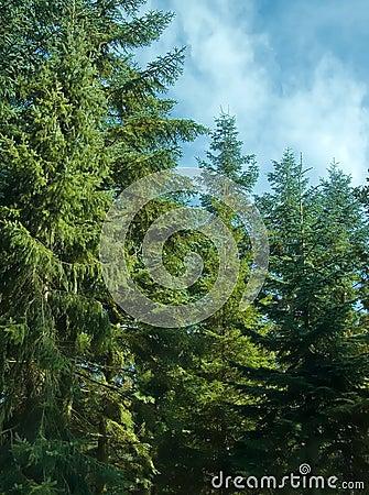 Free Fir Trees Stock Photo - 6307530