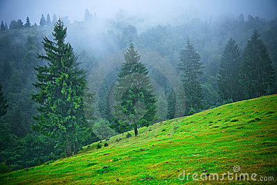 Fir trees in fog