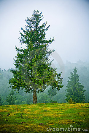 Fir trees in fog
