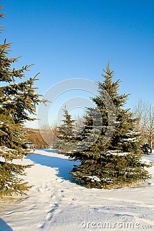 Fir trees with snow on blue sky