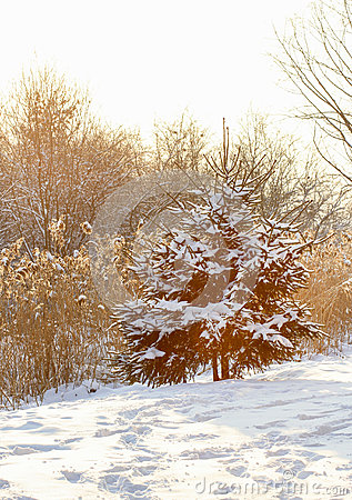 Fir under snow on sunny winter day