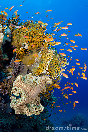 Fire coral and Anthias fish