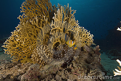 Fire coral, ocean and fish