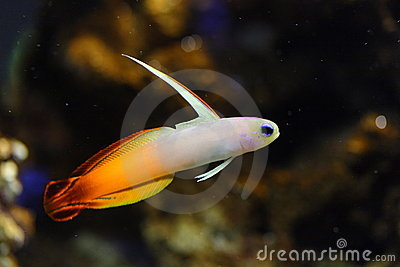 Fire Goby Fish