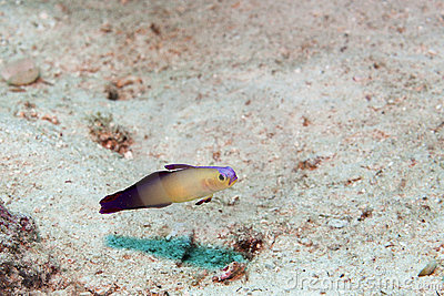Fire goby swimming