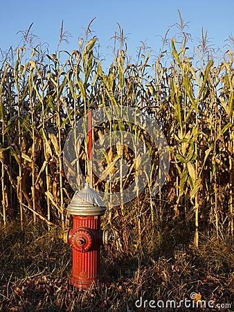 Fire hydrant in sunlit cornfield