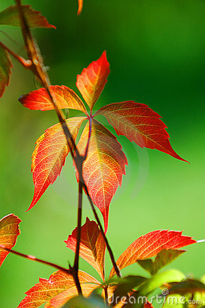 Free Fire Leaf Plant Royalty Free Stock Photos - 1600698